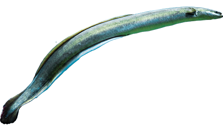 Animated Eel
